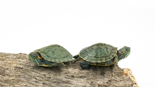 Japanische schildkröte auf weißem hintergrund, rotohrschieber