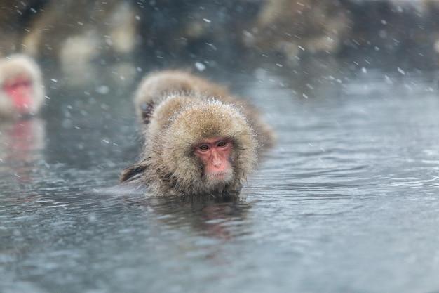 Japanische schneeaffen in einem natürlichen onsen bei jigokudani, japan