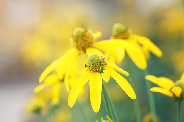 Japanische sonnenblume oder nitobe-chrysantheme.