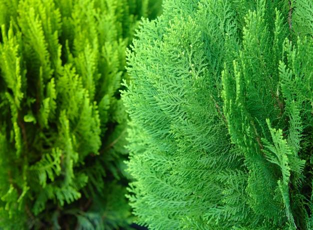 Japanische zypresse (chamaecyparis obtusa) oder hinoki-zypressenzweig, christma