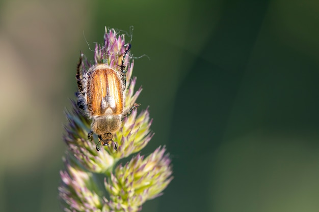Japanischer käfer auf einem grasbewachsenen gras. landwirtschaftlicher schädling.