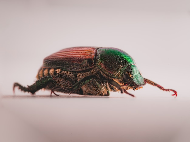 Japanischer käfer (popillia japonica)