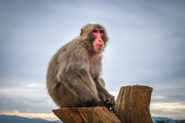 Japanischer makaken auf einem stamm, iwatayama-affepark, kyoto, japan