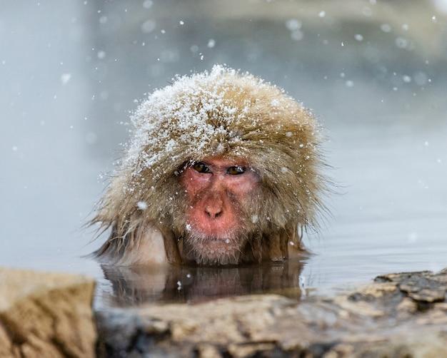 Japanischer makaken, der im wasser sitzt