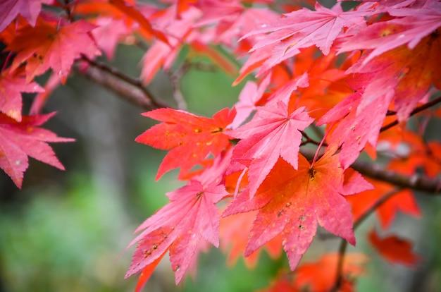 Japanischer natürlicher ahornbaum in der herbstsaison mit blattfarbänderung