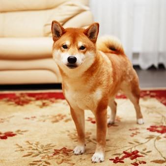 Japanischer shiba inu hund im haus