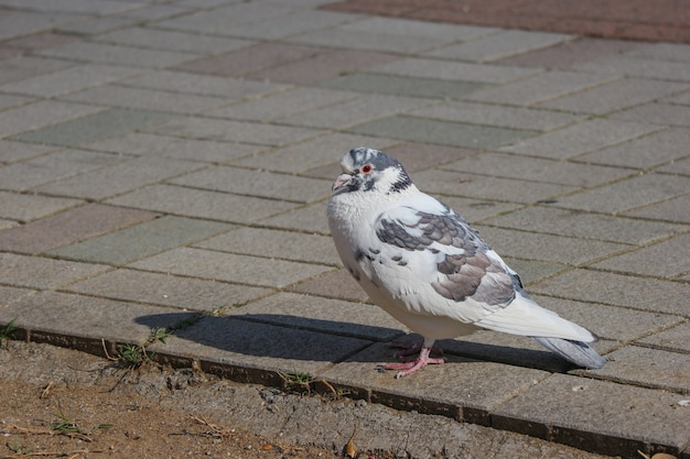 Japanischer weißer reizender taubenvogel, der auf der felsenpflastersteinweise steht.