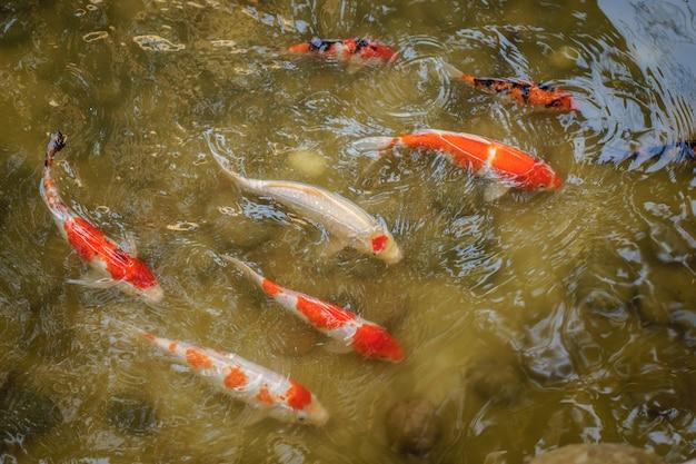 Japanisches koi-karpfenschwimmen im seichten wasserteich