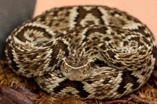 Jararaca-schlange (bothrops jararaca). giftige brasilianische schlange.