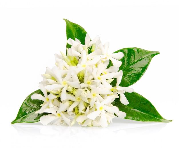 Jasminblüten auf weiß.