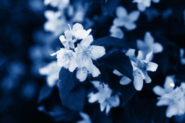 Jasminblüten-blaufilter