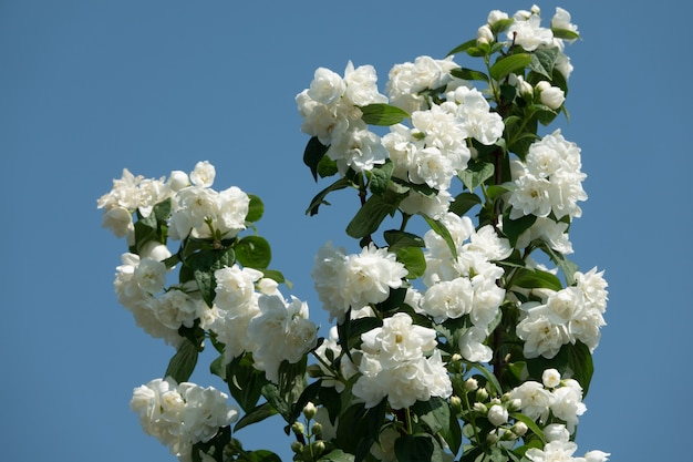 Jasminblüten, die am sonnigen tag im garten auf busch blühen