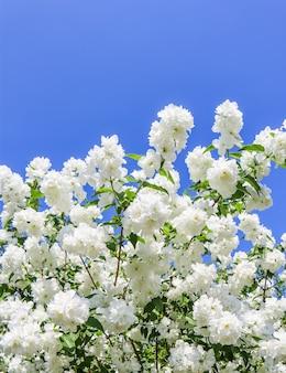 Jasminblüten im garten nahaufnahme von zweigen mit weißen blüten gegen blauen himmel