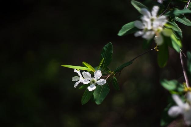 Jasminblüten in einem garten