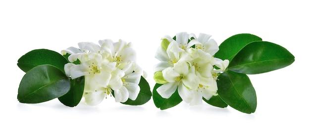 Jasminblüten isoliert auf weißem hintergrund