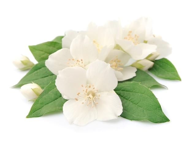 Jasminblüten lokalisiert auf weiß
