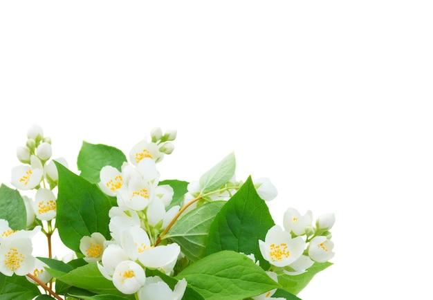 Jasminblüten und -blätter lokalisiert auf weiß