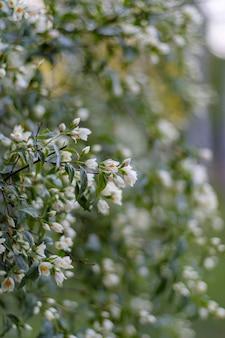 Jasminblütenblüte. grüner weißer unschärfehintergrund.