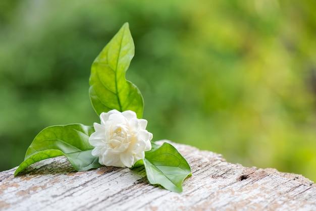 Jasminblume auf naturhintergrund.