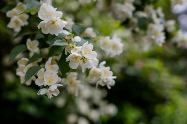 Jasminblume, die auf dem busch im garten mit sonnenstrahlen und bokeh wächst frühling blüht im gartenjasminbusch zarter jasmin blüht auf grün unscharfem hintergrund in blühendem park.