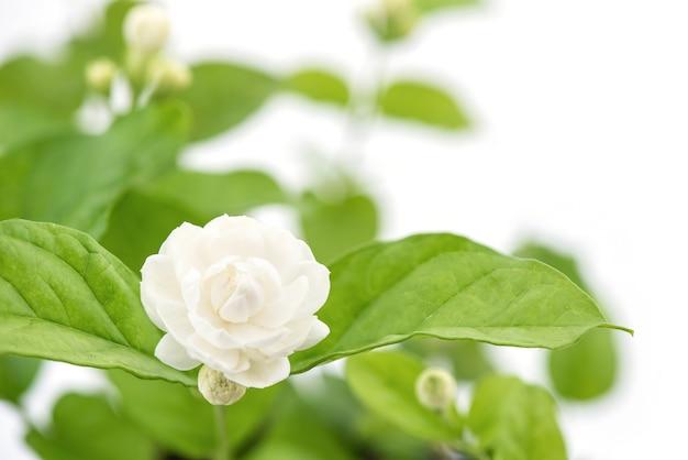 Jasminblume lokalisiert auf weißer oberfläche.