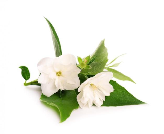 Jasminblumen lokalisiert auf weißem hintergrund