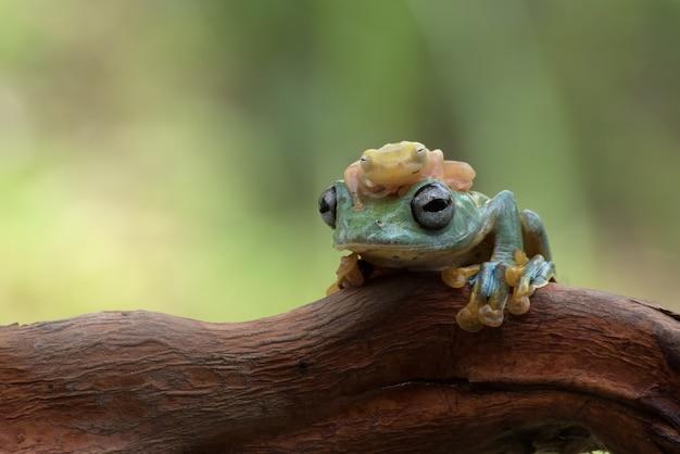 Javan fliegender frosch mit glasfrosch auf dem kopf (rhacophorus reinwarditii)