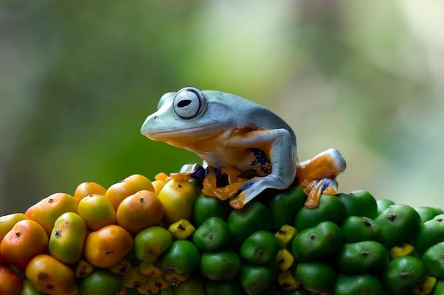 Javan laubfrosch auf gelben früchten