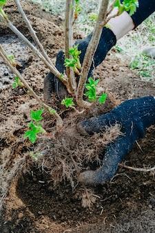 Johannisbeerbusch pflanzen, wurzeln im boden, gartenarbeit, hände in haushaltshandschuhen