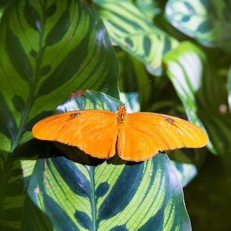 Julia longwing-schmetterling dryas iulia im blatt