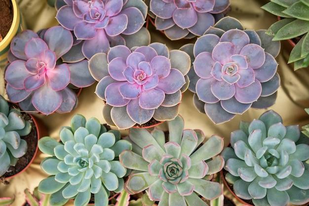 Jung (steinrosen), die erstaunliche schönheit von succulent