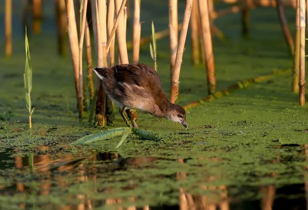 Jung und alt das teichhuhn (gallinula chloropus) wird im sanften morgenlicht aus nächster nähe erschossen. die erkennungszeichen des vogels sind deutlich sichtbar.