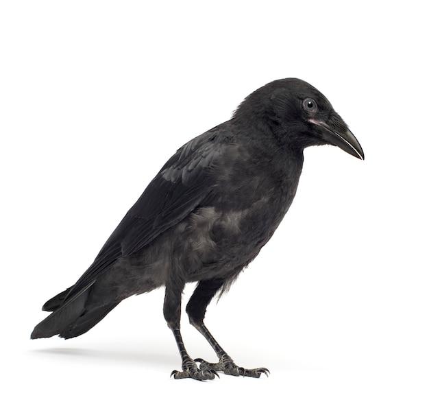 Junge aaskrähe, corvus corone auf einem weißen isoliert