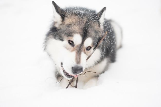 Junge alaskische malamute liegend und spielend mit stock im schnee. hund winter.