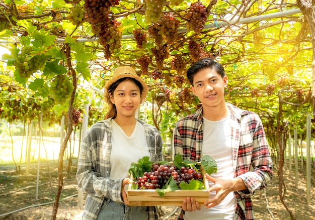 Junge asiatische landwirte ernten trauben im weinberg mit holzkiste, gesundes bio-fruchtkonzept.