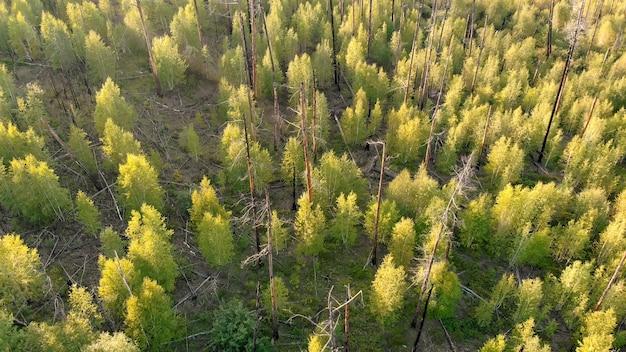 Junge bäume, die an der stelle des waldbrands wachsen.