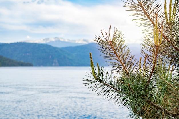 Junge baumzeder auf einem hintergrund eines sees teletskoye und der schneebedeckten berge des altai an einem sonnigen tag