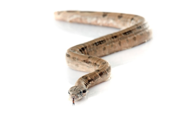Junge boa constrictor