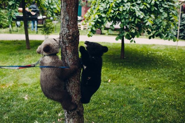 Junge braun- und himalaya-bärenjunges spielen