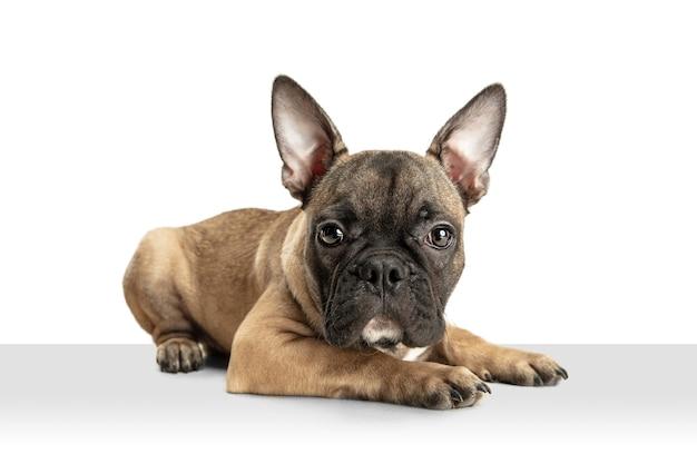 Junge braune französische bulldogge, die lokal auf weißer studiowand spielt