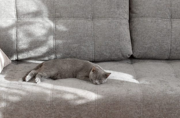 Junge britische kurzhaarkatze, die auf einer grauen couch schläft. sonnenlicht vom fenster erzeugt einen schatten auf dem sofa.