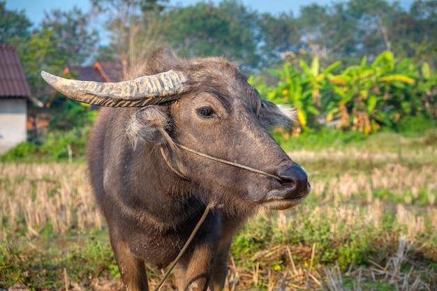 Junge büffel-nahaufnahme auf einer weide auf einem rustikalen hintergrund. pai, thailand.