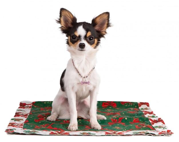 Junge chihuahua auf einem teppich während des weihnachten