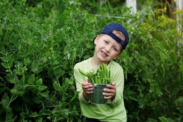 Junge, der frisch ausgewählte grüne erbsen mit erbsenpflanzen im hintergrund zeigt.