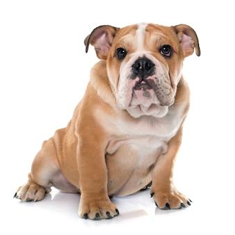 Junge englische bulldogge