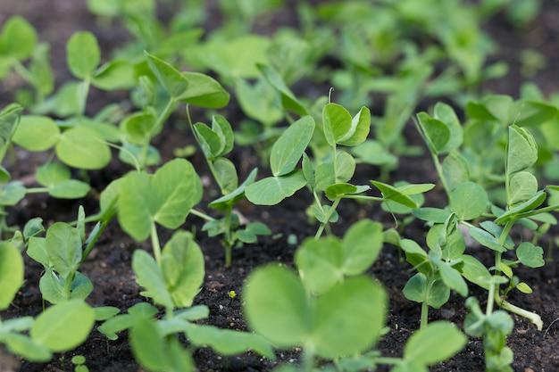 Junge erbsenpflanzen im vorfrühlingsgarten.