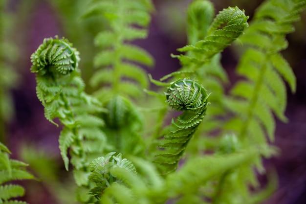 Junge farnblätter rollten hellgrüne blätter des farnbuschs nah oben an einem warmen frühlingsmorgen in ...