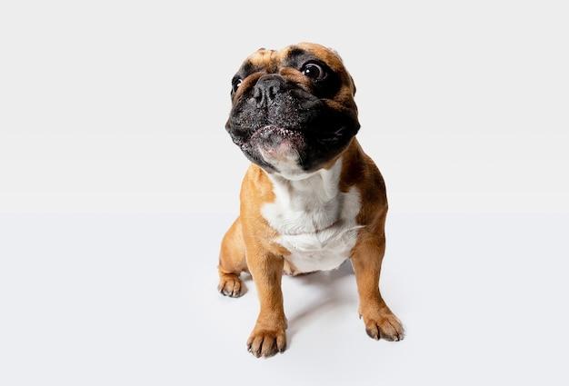 Junge französische bulldogge posiert. nettes weißes braun hündchen oder haustier spielt und schaut glücklich lokalisiert auf weißem hintergrund.