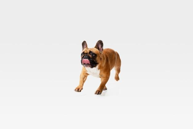 Junge französische bulldogge posiert