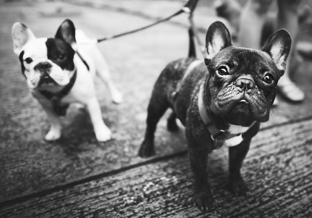 Junge französische bulldoggen mit leinen gehen auf straßenseite